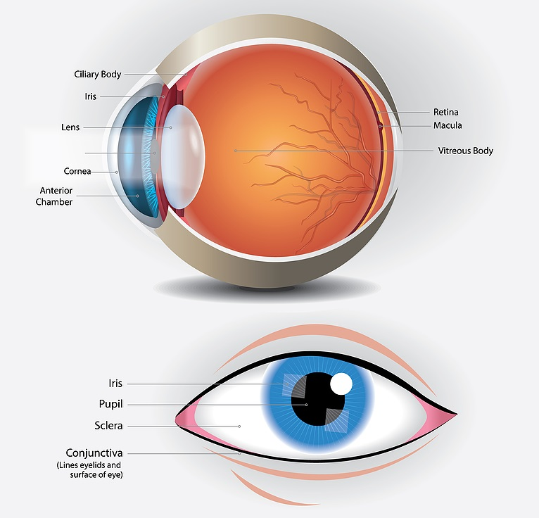 Why is the Cornea so Important?
